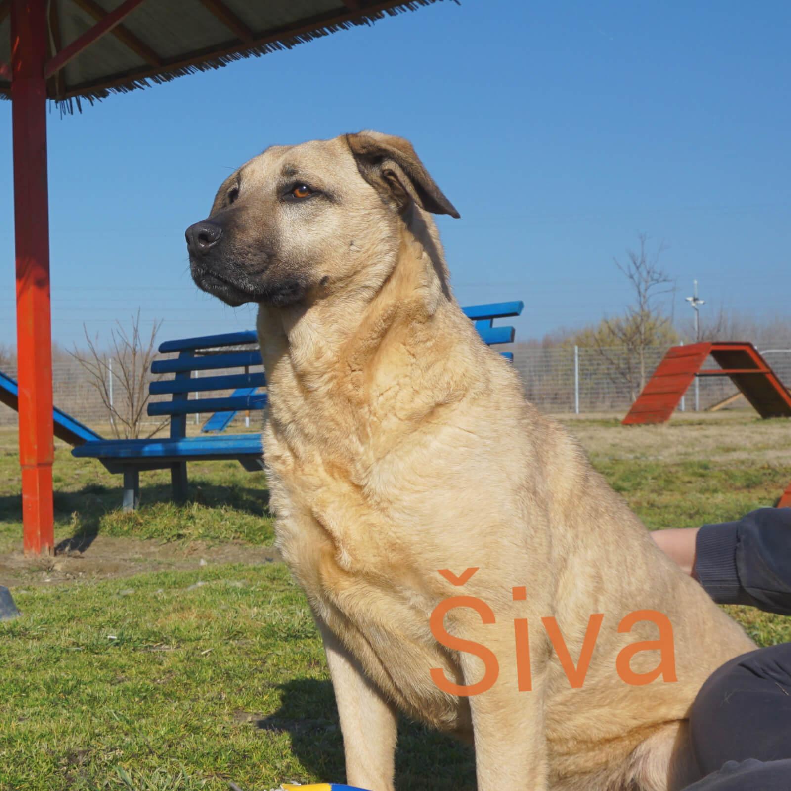 Šiva - pas za udomljavanje